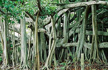 The Banyan Tree with Secondary (Aerial) Roots