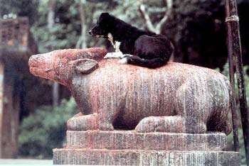Milk flows down the body of Nandi. The dog riding the stone beast makes a tasty snack of the devotee's offerings.