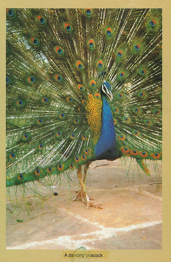 Help on essay peacock in urdu