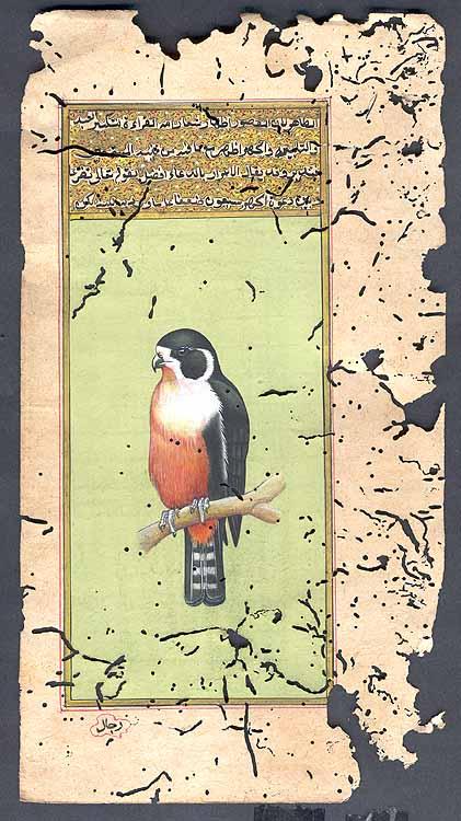 Birds of Prey of the World - Black-legged Falconet