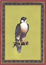 Shahin Falcon