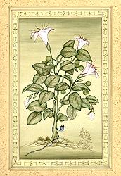 Dhatura Plant